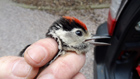 Great Spotted Woodpecker, juv